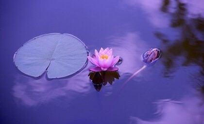 Lotusblomma i vattnet.