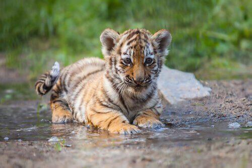 Acceptans- och åtagandeterapi: metaforen med tigern.