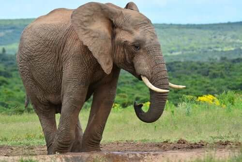 En elefant i det vilda