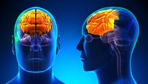 Schematisk bild av hjärna.