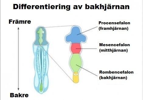 Bakhjärnans delar