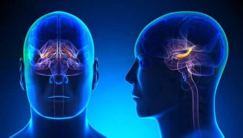 Hippocampala formationen: struktur och funktioner