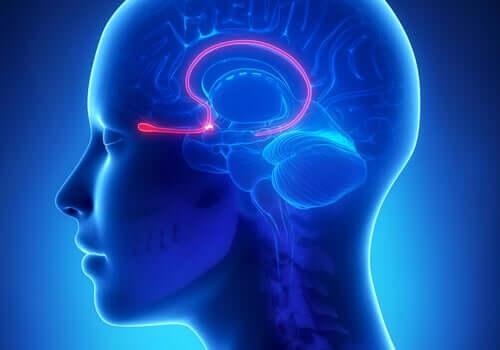 Luktloben i hjärnan: funktion och egenskaper