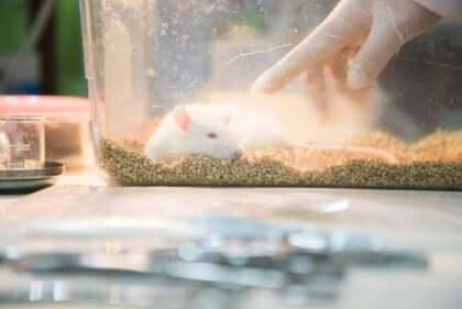 Isolerade råttor beter sig annorlunda än fria råttor
