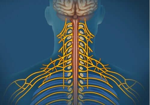 Somatiska nervsystemet: egenskaper och funktioner