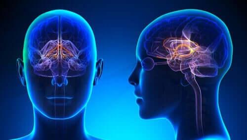 Diagram av hjärnan.