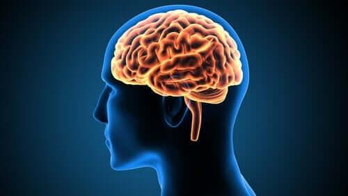 Allt om gördelvindlingens roll i hjärnan