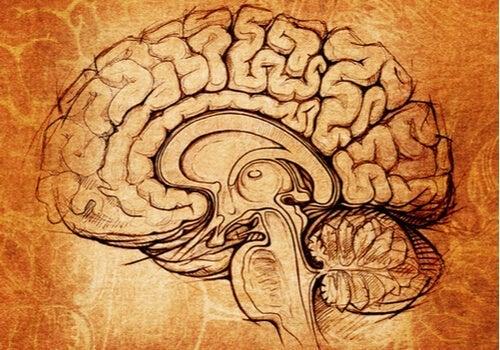Nucleus lentiformis: centra för inlärning och motivation