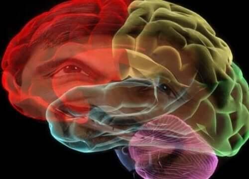 Hjärnan i olika färger.