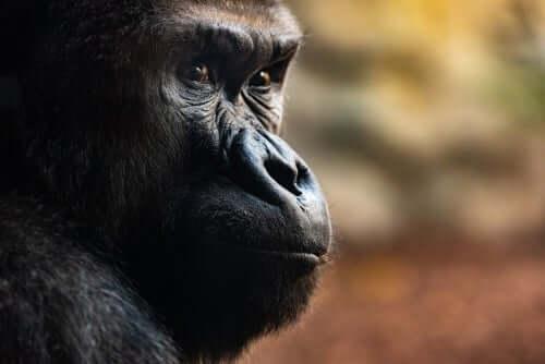 Tre häpnadsväckande dödsritualer bland gorillor
