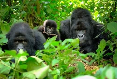 Forskare har upptöckt dödsritualer bland gorillor