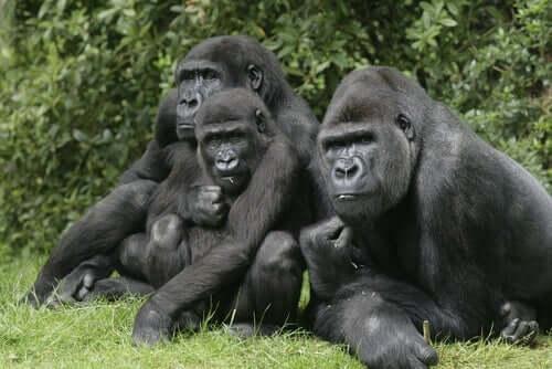 Gorillor har känslor som liknar människans