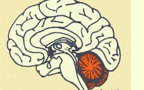 Platsen för lillhjärnan i hjärnan