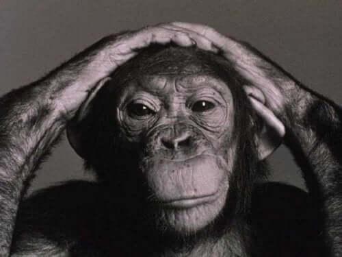 En schimpans med händerna på huvudet