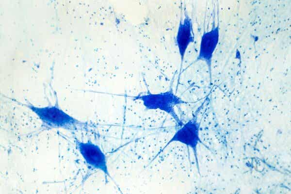 Förr trodde man att gliacellernas betydelse var av underordnad natur